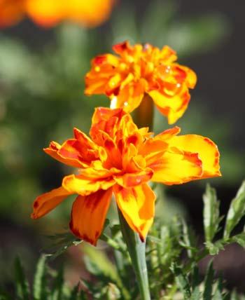 f_baby_marigolds