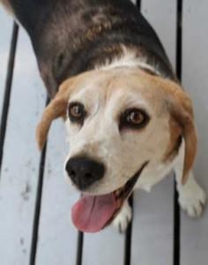 eager_beagle