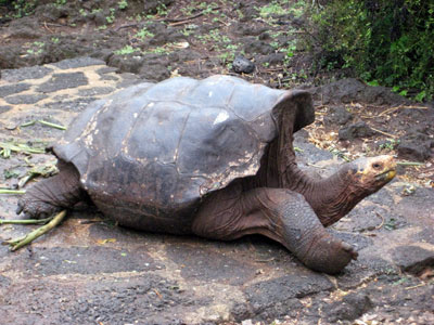 A lot of fuss was made about Lonesome George, because he was the last of his sub-species, also famous for not wanting to get jiggy with it with any of the female tortoises. In other words, George didn't make any babies once he was in captivity.