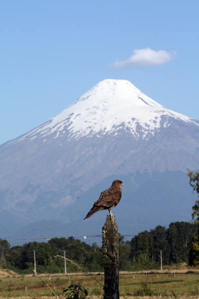Volcano Osorno with hawk who REFUSED to look at me. Hmph!